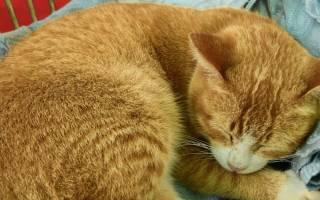Уплотнение на спине возле позвоночника у кошки