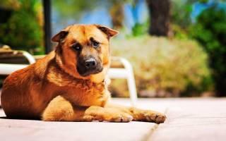 Ушибы у собак – симптомы и лечение