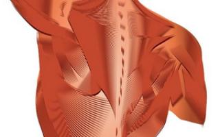 Мышцы которые держат позвоночник в вертикальном положении