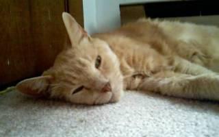 Болезнь почек у кошек: симптомы и лечение. Проблемы с почками у кошек