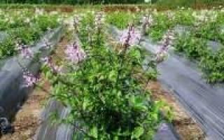Лечение почек при беременности травами